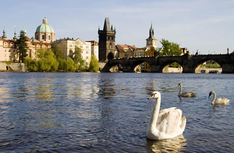 Vltava river in prague with its beautiful swans photo